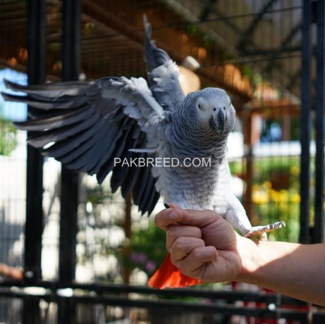 african-grey-parrot-ready-for-adoption-big-3