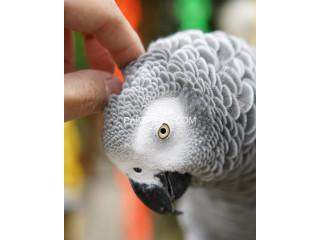 African Grey Parrot ready for Adoption
