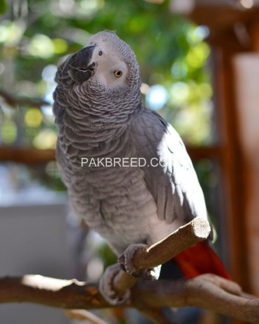 african-grey-parrot-ready-for-adoption-big-0