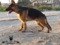 fully-black-mask-show-quality-german-shepherd-young-male-small-1