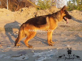 Fully black mask Show quality German shepherd young male