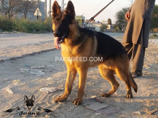 fully-black-mask-show-quality-german-shepherd-young-male-big-2