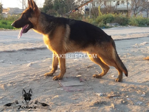 fully-black-mask-show-quality-german-shepherd-young-male-big-1