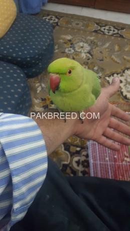 green-parrot-big-2