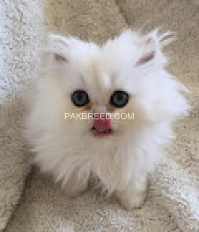cute-persian-kittens-currently-available-big-0