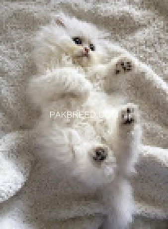 cute-persian-kittens-currently-available-big-1