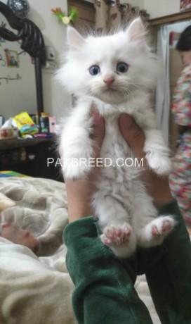 persian-kittens-big-2