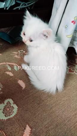 persian-kittens-big-1