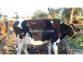 cow-for-sale-small-1