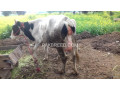 cow-for-sale-small-0
