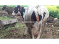 cow-for-sale-small-3