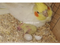 common-white-cockatiel-breeder-pair-small-1