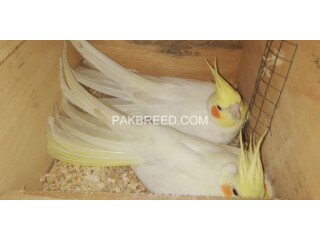 Common White cockatiel breeder pair