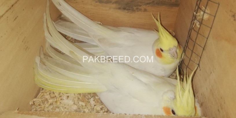 common-white-cockatiel-breeder-pair-big-0