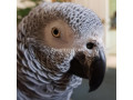 african-grey-parrot-ready-for-adoption-small-2