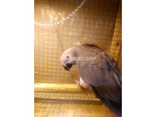Afrecan gry parrots for sale