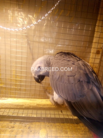 afrecan-gry-parrots-for-sale-big-0