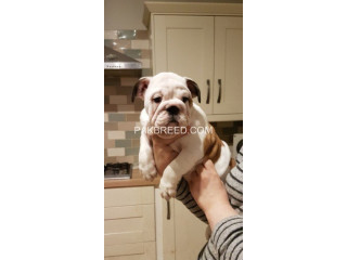 Rehoming KC English Bulldog Puppies