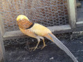 yellow-golden-pheasant-small-0