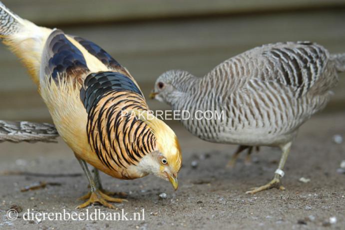 yellow-golden-pheasant-big-1