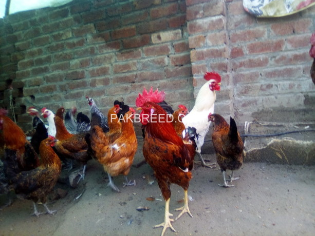 egg-leying-hens-and-cock-for-sale-big-0