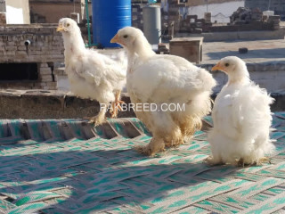 White heavy chicks for sale