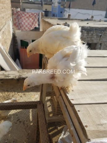 white-heavy-chicks-for-sale-big-2