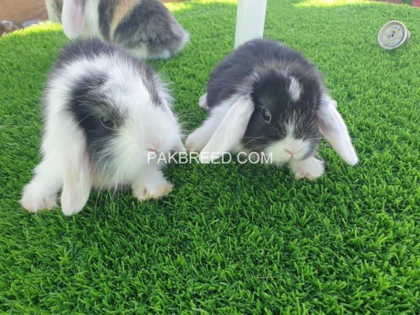 holland-lop-bunnies-available-big-1