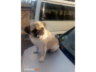 Pug female for sale