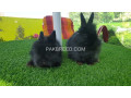 english-engora-bunnies-small-1
