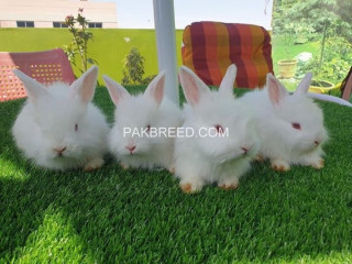 English engora bunnies