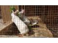 white-red-eye-rabbits-small-0