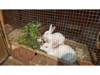White red eye rabbits