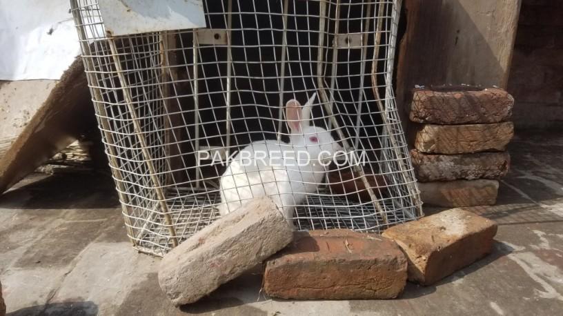 white-red-eye-rabbits-big-1