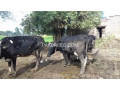 cow-for-sale-small-2