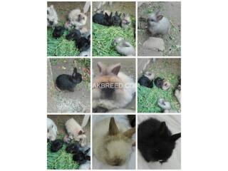 Angora Rabbit for sell Original breeds