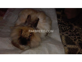 Angora Rabbit for sell Original breeds