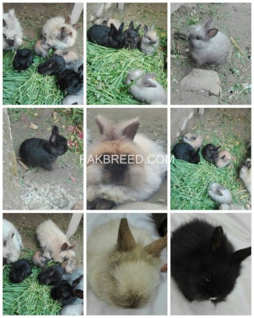 angora-rabbit-for-sell-original-breeds-big-0