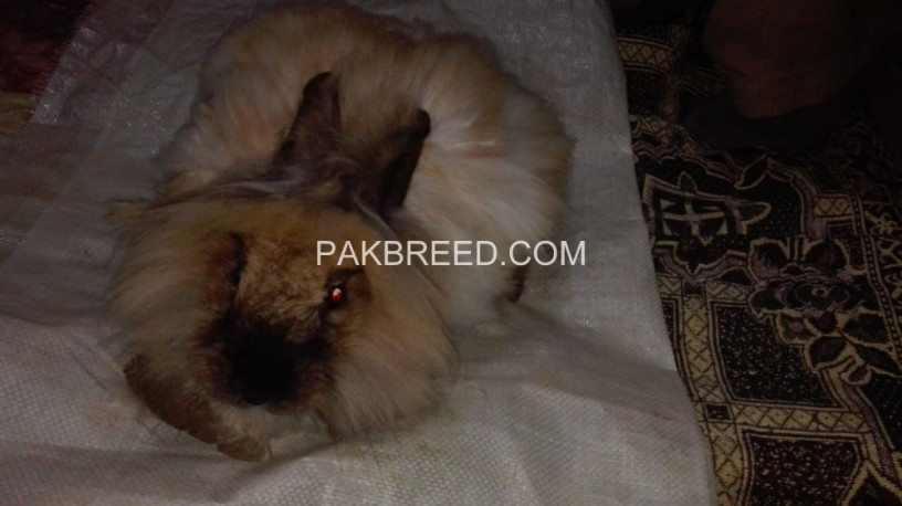 angora-rabbit-for-sell-original-breeds-big-3