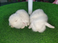 holland-lop-bunnies-extremely-beautiful-small-2