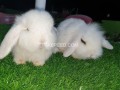 holland-lop-bunnies-extremely-beautiful-small-0