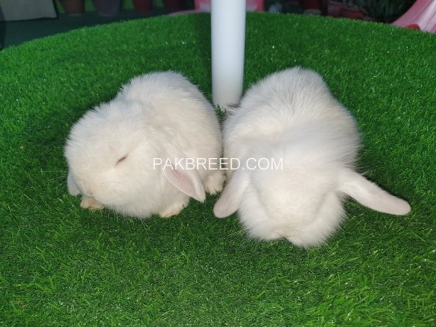 holland-lop-bunnies-extremely-beautiful-big-2