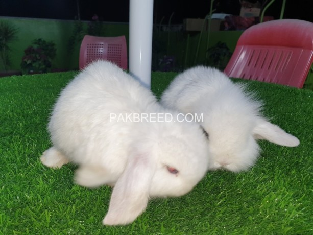 holland-lop-bunnies-extremely-beautiful-big-1
