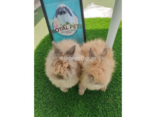 Beautiful bunnies for sale