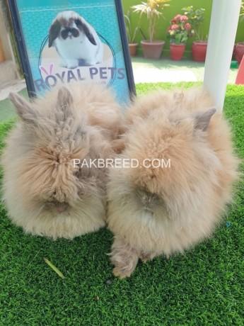 beautiful-bunnies-for-sale-big-1