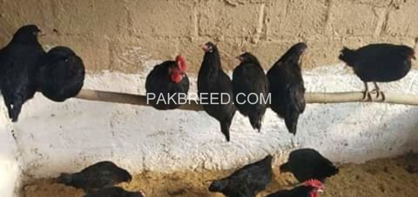 hens-and-chicks-big-0