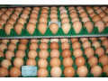 rhodes-island-red-eggs-small-0
