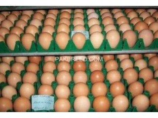 Rhodes island red Eggs