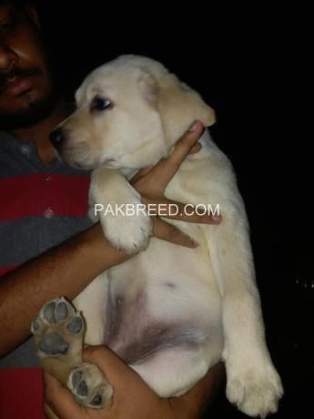 pedigree-dog-for-sale-big-1