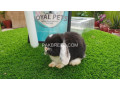 holland-lop-male-small-3